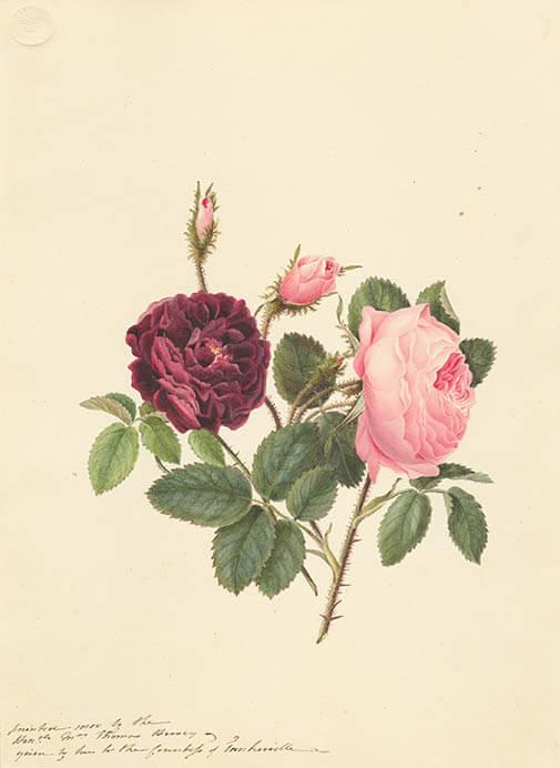 キューガーデン 英国王室が愛した花々 シャーロット王妃とボタニカルアート 東京都庭園美術館-3