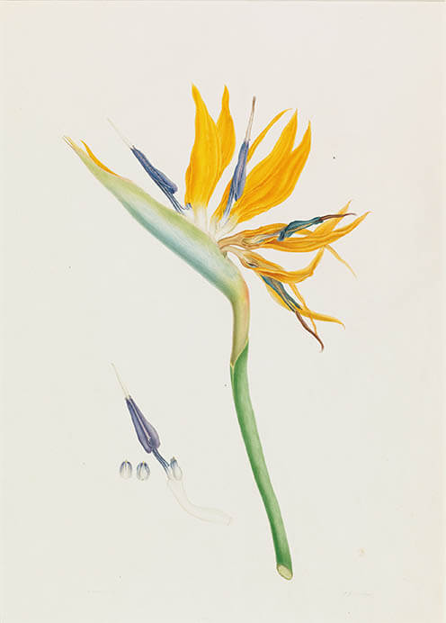 キューガーデン 英国王室が愛した花々 シャーロット王妃とボタニカルアート 東京都庭園美術館-4