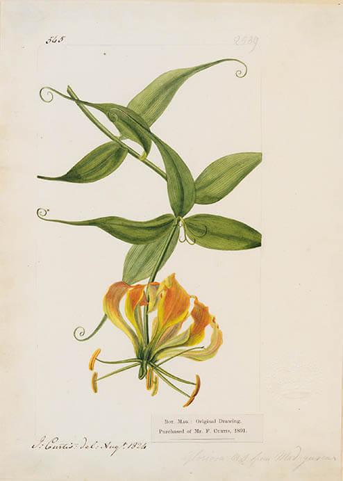 キューガーデン 英国王室が愛した花々 シャーロット王妃とボタニカルアート 東京都庭園美術館-7