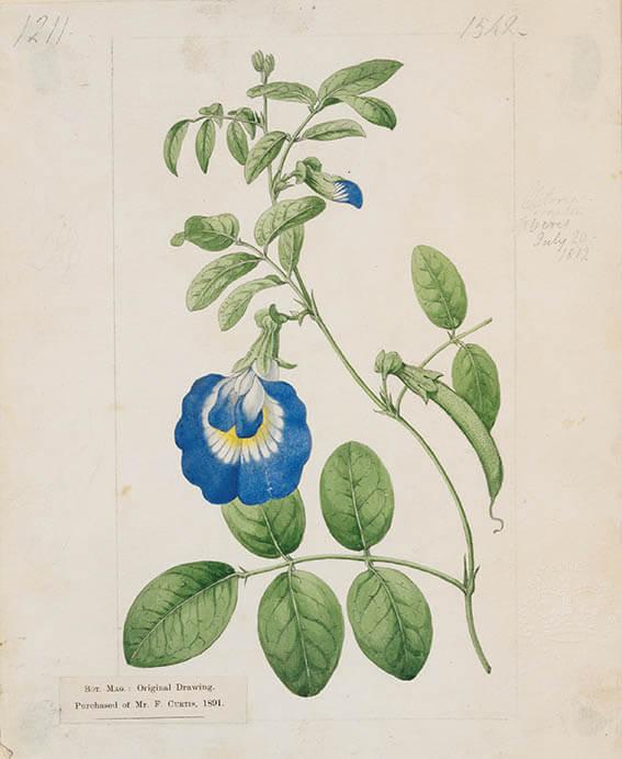 キューガーデン 英国王室が愛した花々 シャーロット王妃とボタニカルアート 東京都庭園美術館-8